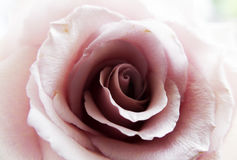 Lovely pastel pink gentle rose Royalty Free Stock Image
