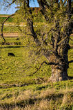 Lovely Pasture Scene. A pasture with a large rugged old tree royalty free stock photo