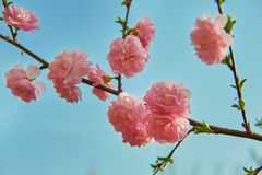 The lovely peach blossom in blue sky Stock Photo