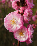 The lovely peach blossom Royalty Free Stock Images