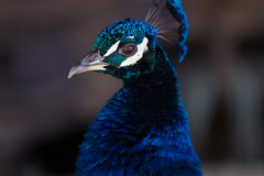 Lovely Peacock Stock Images