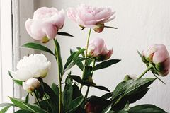 Lovely peony pink and white flowers on background of window light, sweet home royalty free stock photography