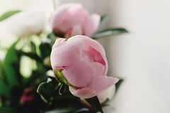 Lovely peony pink and white flowers on background of window light, sweet home stock photos