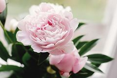 Lovely peony pink and white flowers on background of window light, sweet home stock images