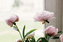 Lovely peony pink and white flowers on background of window light, sweet home stock image