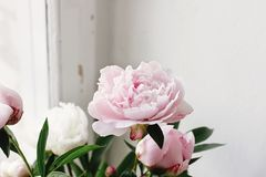 Lovely peony pink and white flowers on background of window light, sweet home royalty free stock images