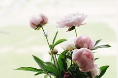 Lovely peony pink and white flowers on background of window light, sweet home royalty free stock image