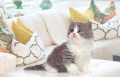 Lovely Persian kitten at home Stock Images