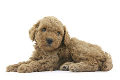 Lovely pet. Toy poodle breed Stock Images