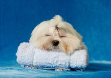 Lovely pet. White lovely pet is sleeping,poodle breed Stock Image