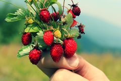Lovely photo red strawberries Stock Images