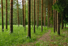 Lovely pine trees with path. Lovely pine trees in the forest royalty free stock photography