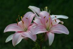 Lovely pink Asiatic lily stock image