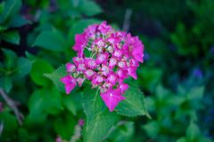 Pink flowers with nice bokeh. Lovely pink blumen royalty free stock images