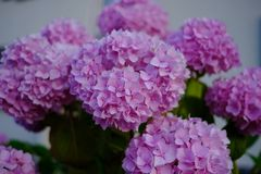 Pink flowers with nice bokeh. Lovely pink blumen stock photography