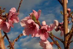 Lovely pink cherry blossoms. A bundle of beautiful, pink cherry blossoms against a slightly cloudy sky in the springtime Stock Images