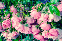 Lovely pink climbing roses Stock Image