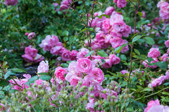 Lovely pink climbing roses Royalty Free Stock Photos