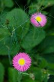 Lovely pink daisy Royalty Free Stock Images