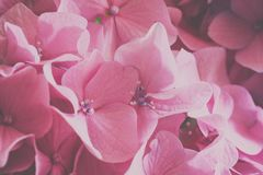 Macro image of pink hydrangea flower, natural floral background suitable for wallpaper. Lovely pink flower background, macro image of hydrangea, vintage style royalty free stock photo