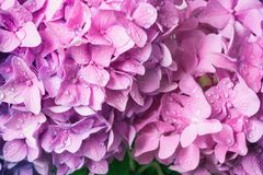 Macro image of pink hydrangea flower, natural floral background suitable for wallpaper. Lovely pink flower background, macro image of hydrangea with water drops stock image