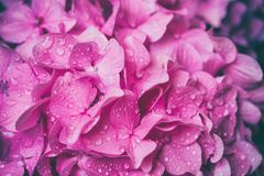 Macro image of pink hydrangea flower, natural floral background suitable for wallpaper. Lovely pink flower background, macro image of hydrangea with water drops royalty free stock photography