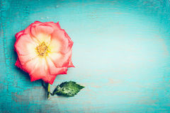 Lovely pink flower on blue turquoise shabby chic background, top view, place for text. Festive Greeting card. With rosa flower Royalty Free Stock Photography