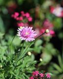 Closeup Photo of Pastel Pink Flowers with Soft Green Background royalty free stock photo