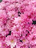 Lovely pink flowers from a Spherical Chrysant. A floral display of pink flowers from a Spherical Chrysant blooming in autumn royalty free stock image