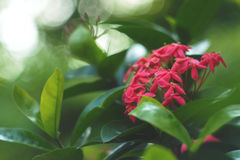 Lovely pink Ixora flower. The dreamy and blurry soft focus of sweetness lovely pink Ixora flower with green natural bright sunny light & flare bokeh background Royalty Free Stock Image