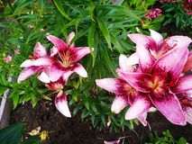 Lovely pink Lilies blooming in summer stock photos