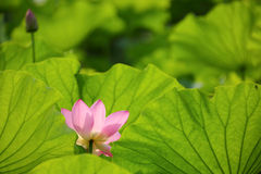 Lovely pink lotus flowers blooming among lush leaves in a pond under bright summer sunshine Royalty Free Stock Images