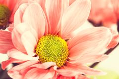 Lovely pink marguerite royalty free stock photos