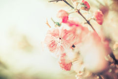 Lovely pink pale blossom at sunny day background, outdoor nature Stock Photography