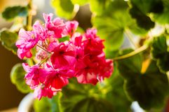 Lovely pink Pelargonium Geranium flowers, close up. Soft focus royalty free stock photo