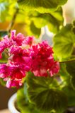 Lovely pink Pelargonium Geranium flowers, close up. Soft focus royalty free stock images