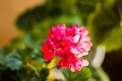 Lovely pink Pelargonium Geranium flowers, close up. Soft focus royalty free stock photos