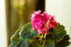 Lovely pink Pelargonium Geranium flowers, close up royalty free stock image