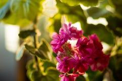 Lovely pink Pelargonium Geranium flowers, close up royalty free stock photo