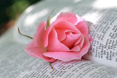 Lovely pink rose closeup Royalty Free Stock Images