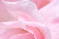 Lovely pink rose petals closeup Stock Image