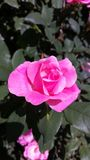 Lovely pink rose Royalty Free Stock Photo