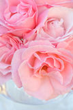 Lovely Pink roses close up Stock Photography