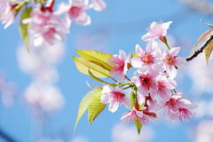 Lovely pink sakura with young green leaves Stock Image