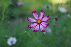 Lovely pink Spanish daisy in the rain Royalty Free Stock Photo