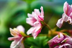 Pelargonium Geranium flowers. Lovely pink and white Pelargonium Geranium flowers royalty free stock photos