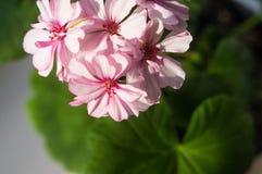 Pelargonium Geranium flowers. Lovely pink and white Pelargonium Geranium flowers stock photos