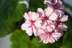 Pelargonium Geranium flowers. Lovely pink and white Pelargonium Geranium flowers royalty free stock image