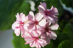 Pelargonium Geranium flowers. Lovely pink and white Pelargonium Geranium flowers royalty free stock photography