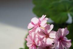 Pelargonium Geranium flowers. Lovely pink and white Pelargonium Geranium flowers stock images